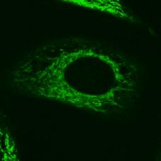 DSPE-fluorescein